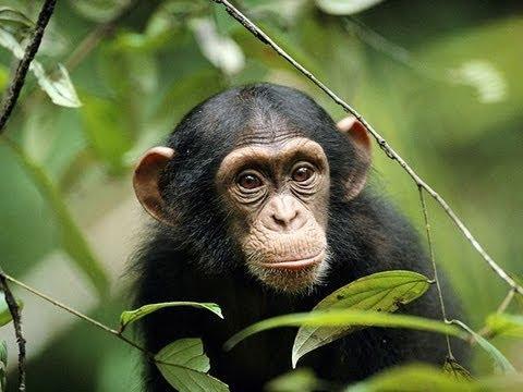 Smiling Chimpanzee at Monkey World