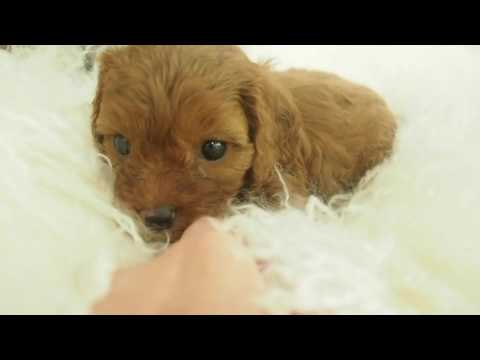 Pepper's Toy Cavoodle Boy A - Pocket Puppies 2017