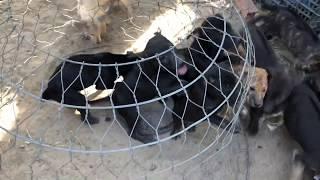 Bán chó Phú quốc đen tuyền và vện hổ sḋt 0375043122