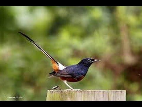 Terapi Suara Burung Murai Batu dan Gemericik Air