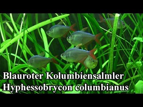 Blauroter Kolumbiensalmler - Hyphessobrycon columbianus @ZOO Aquarium Thüringer Zoopark Erfurt