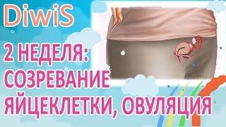 2 неделя беременности от зачатия, что происходит?