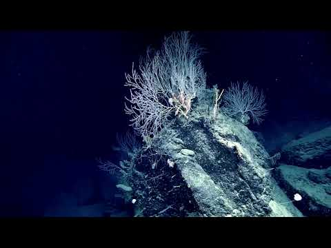 Hidden bamboo coral garden discovered by NOAA in the Gulf of Mexico