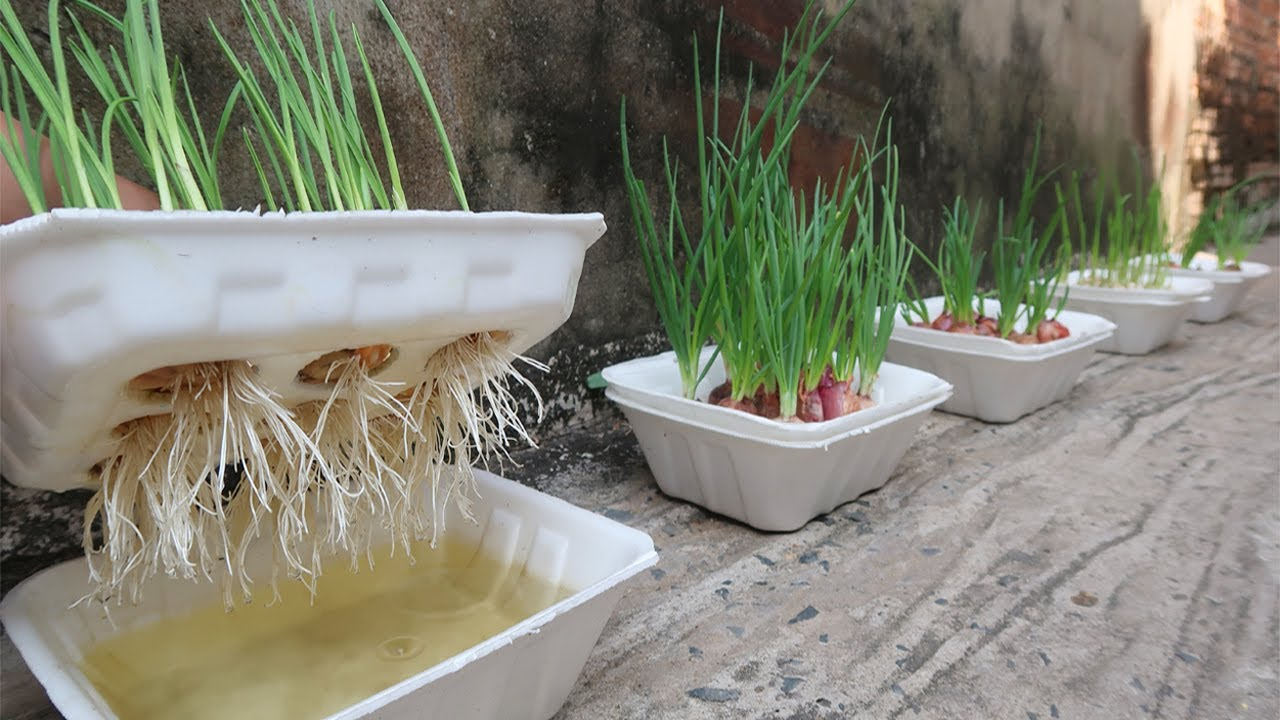 Brilliant idea | How to grow Onions & Garlic in Styrofoam Box for beginners