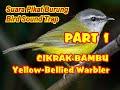 Suara Pikat Burung Cikrak Bambu Jantan Dan Betina Yellow Bellied Warbler Bird Sound For Trap  Mp3 - Mp4 Download