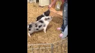 Juliana Pigs , Teacup Pigs Do Tricks.