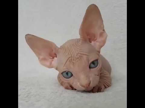 Adorable baby Sphynx cat