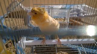 اجمل تغريد طائر الكناري  ...Nicest twitter canary