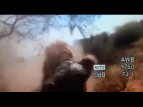 Lion Attack Hunter. Best Video Ever! Man Eater. Lion Hunting Videos. Best Videos Of All Time!