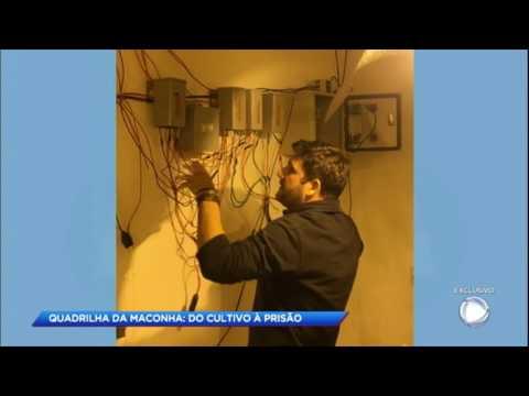 Polícia prende quadrilha que cultivava maconha no interior de SP