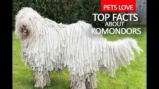 Dogs 101  Komondor  Top 10 Dog Facts About The Komondor