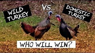 Wild Turkey vs. Domestic Turkey - Who Wins This Backyard Turkey Fight?