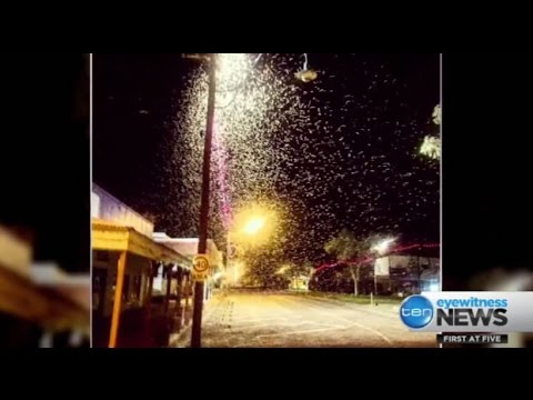 Floods in Qld town of Winton bring a plague of Hawk Moths