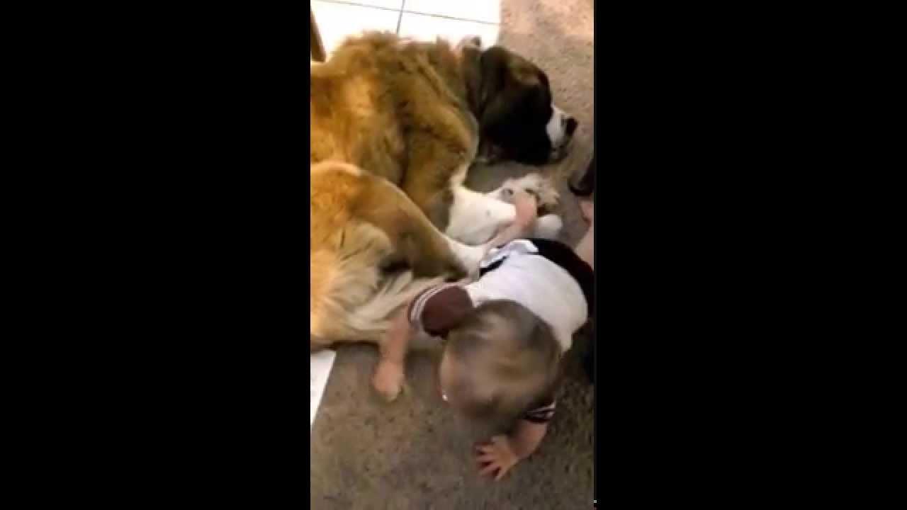 Big Ass Dog Saint St Bernard Keg Barrel Dog Personalized Leather Collar WORKS