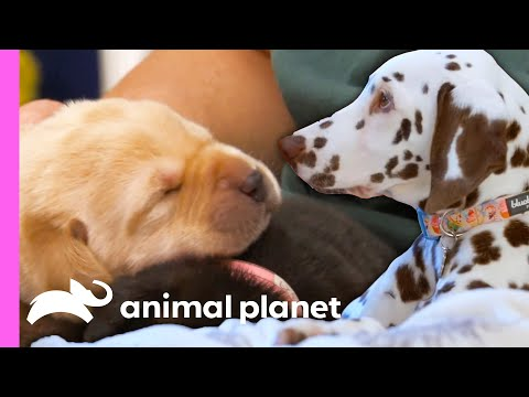 These Adorable Puppy Moments Will Leave You With Permanent Heart Eyes! 😍   Animal Planet