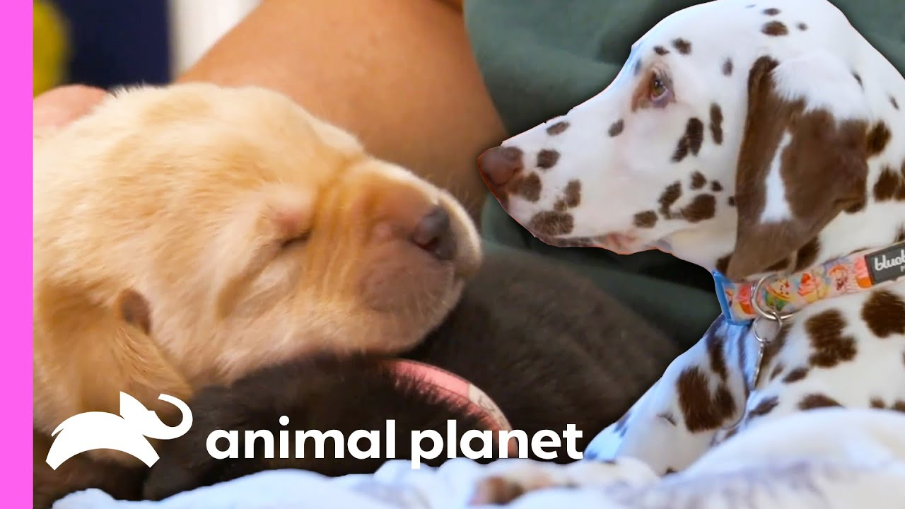 These Adorable Puppy Moments Will Leave You With Permanent Heart Eyes! 😍 | Animal Planet