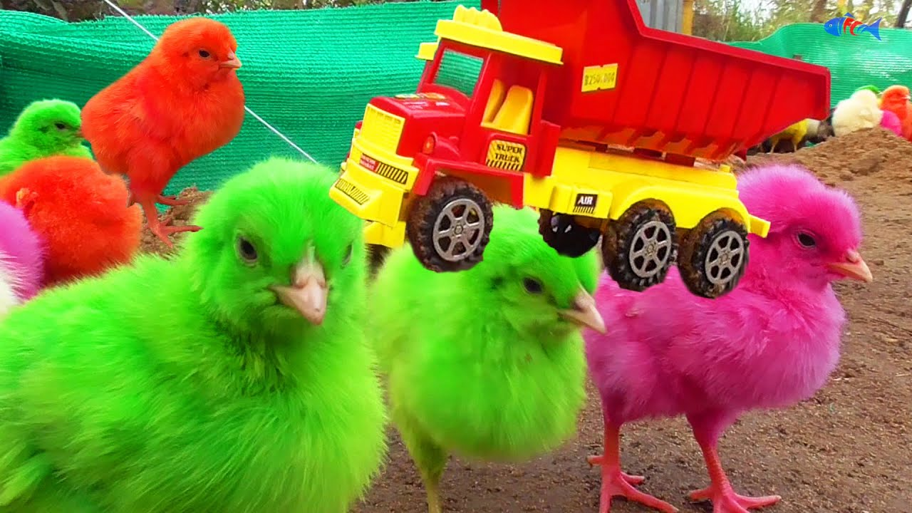 RC Truck with MURGI Hen Color Chicks Video / FishCutting
