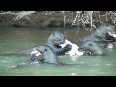 Giant River Otter Family Eating A Very Large Catfish