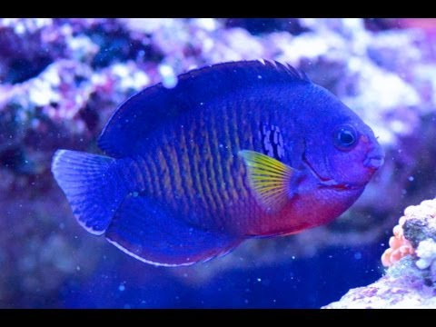 Care For Coral Beauty Angelfish Centropyge Bispinosa 珊瑚美人