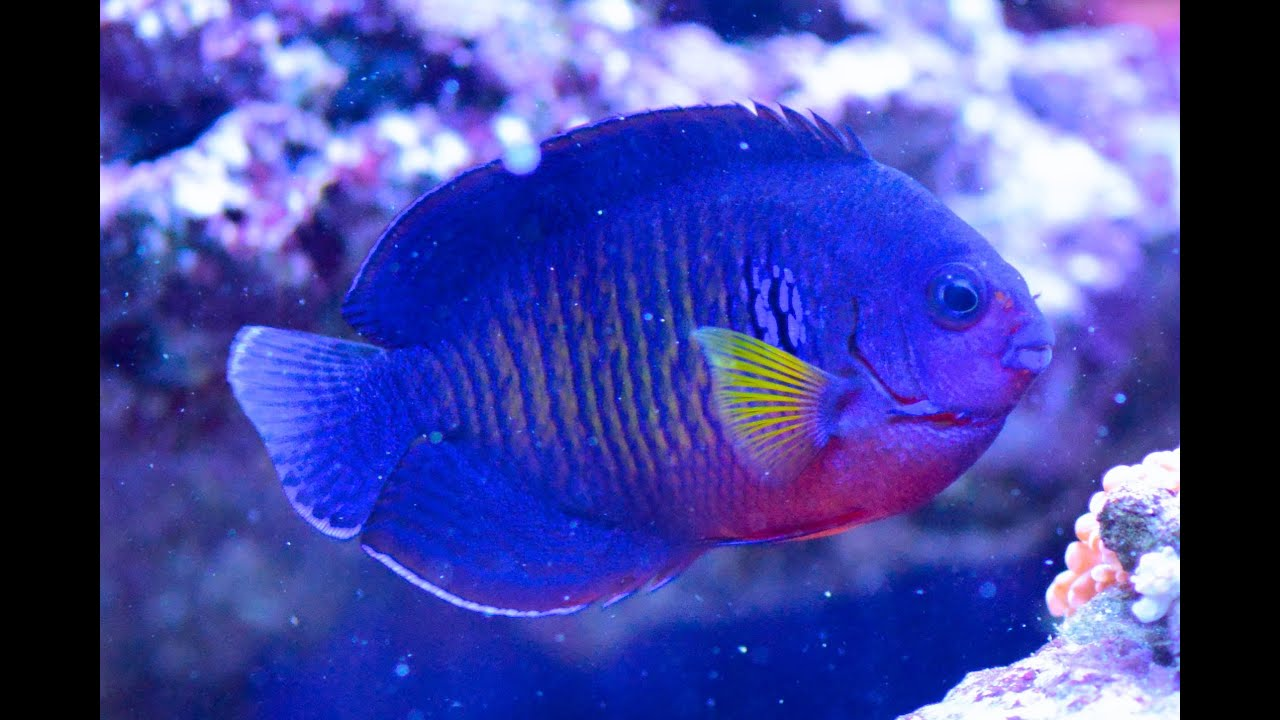 Care for Coral Beauty Angelfish Centropyge bispinosa 珊瑚美人 ...