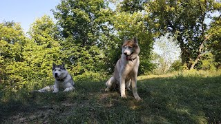 Huskies/Funny dogs. Хаски забавно играют🐺🐶