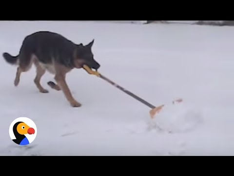 Smart Dog Helps Shovel Snow | The Dodo