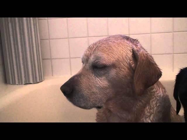 ラブラドール ムック 暖かいお風呂で居眠り