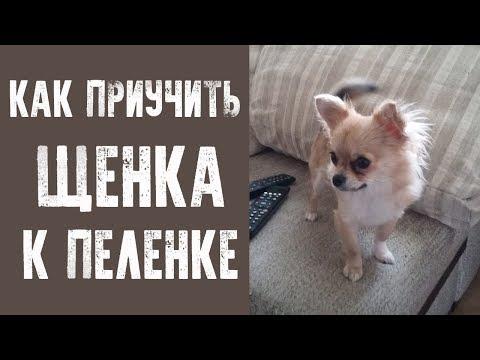видео: Как приучить щенка к пеленке