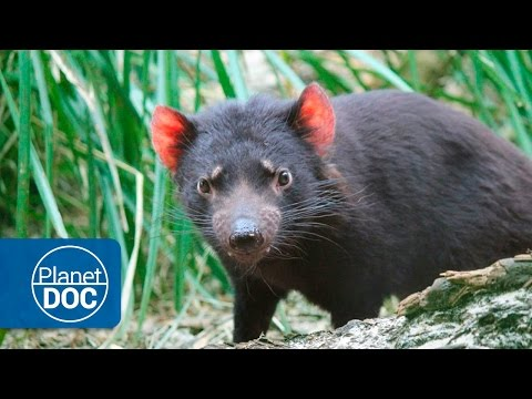 Tasmania Full Documentary | Devils & Tigers