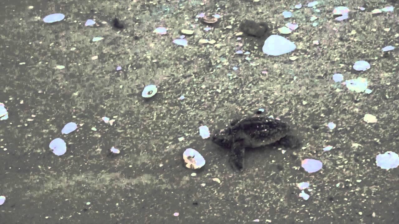 Loggerhead Sea Turtle Hatchlings Being Released Youtube