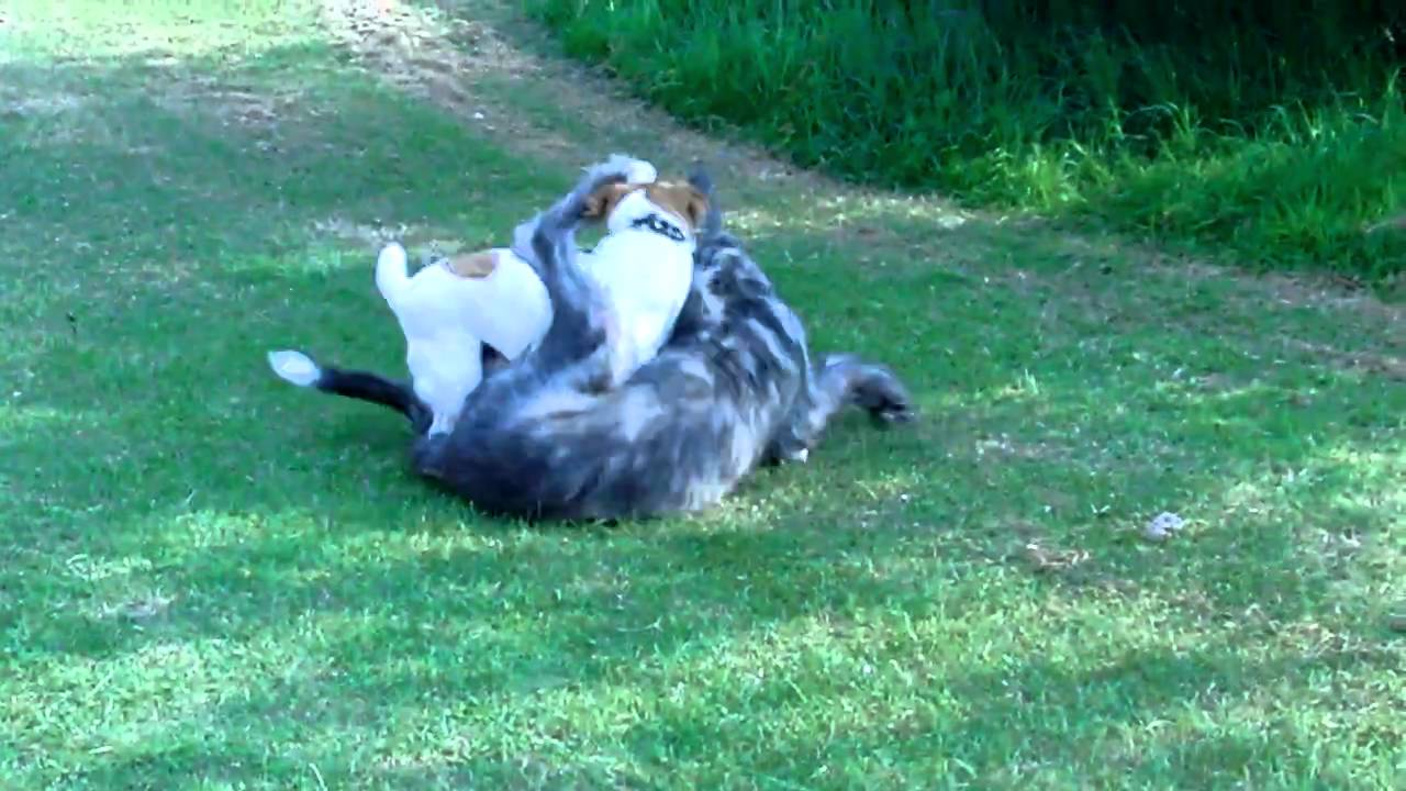 irish wolf hound vs  jack russell terrier  dogs play
