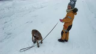 Австралийская пастушья собака (Australian Cattle Dog)