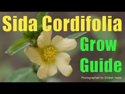 Somatodrol podnosi poziom Twojego testosteronu i HGH! - Sida cordifolia riebalų nuostoliai