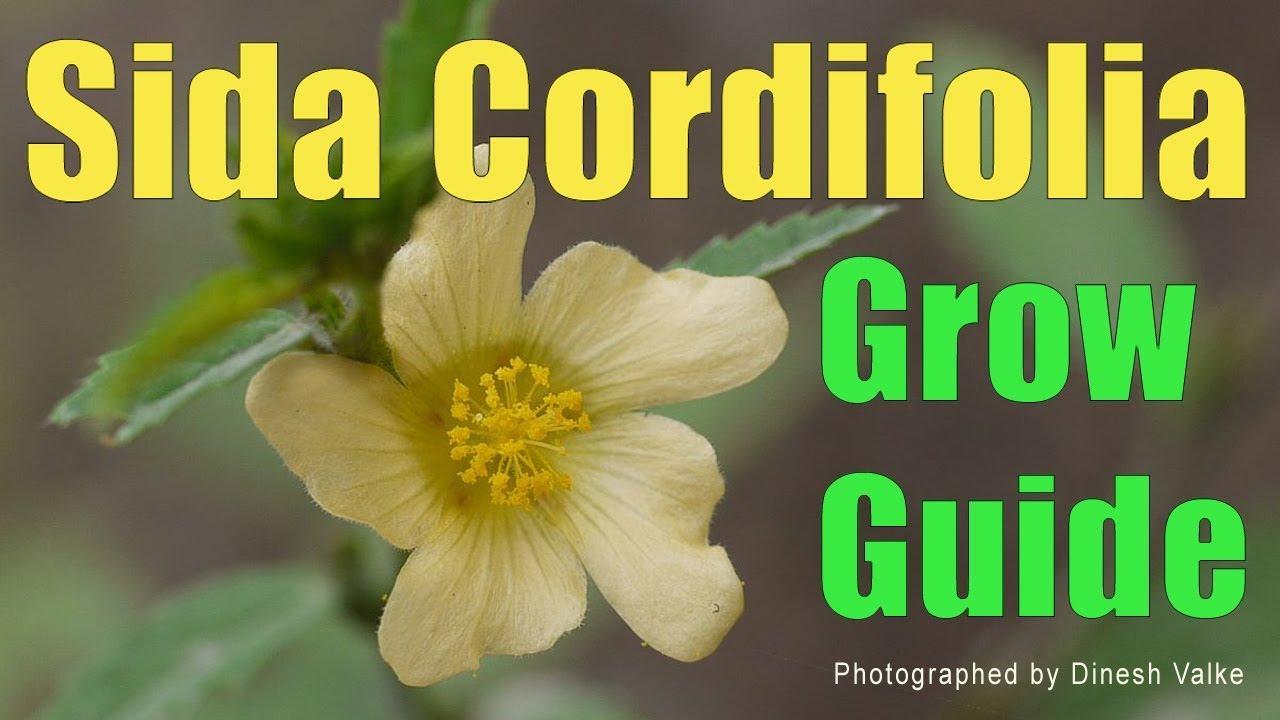 Sida cordifolia svorio netekimas. Somatodrol podnosi poziom Twojego testosteronu i HGH!