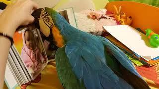 Попугай ара рассматривает фотографии