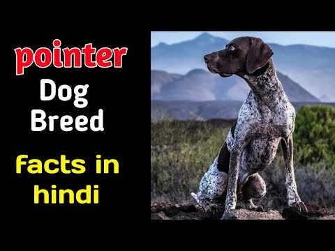 Pointer dog facts in hindi / Dogs Fact / POINTER Dog Facts