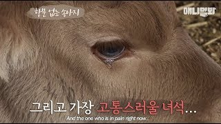 A calf is recommended euthanasia just 5 days after birth. The mother that was around...