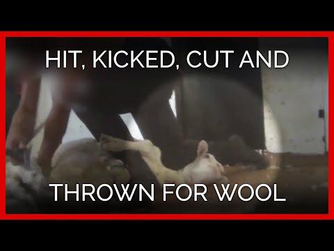 PETA's SEVENTH Wool Exposé: Sheep Still Hit, Kicked, Cut, Thrown