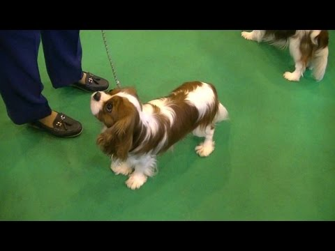 Cavalier King Charles Spaniel in Crufts 2017