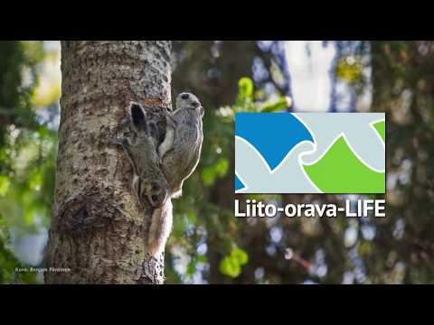Yhteistyötä liito-oravan eteen
