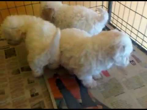 Mini toy french poodle en venta