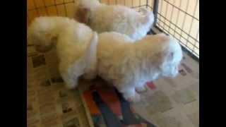 Cachorros French Poodle Mini Toy En Venta