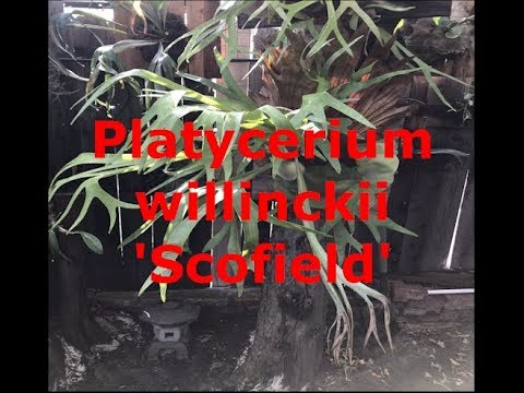 All about the Platycerium willinckii