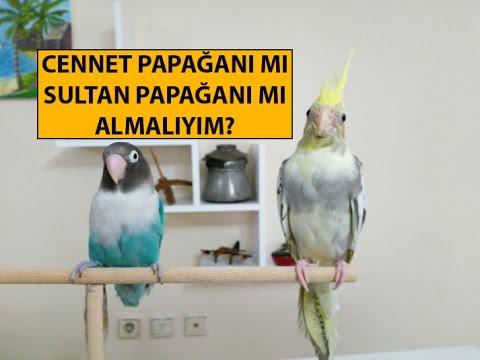 Cennet Papağanı mı Sultan Papağanı mı Almalıyım