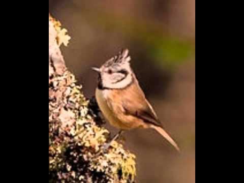 CRESTED TIT CALL