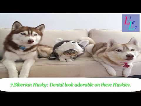 14 Dogs Breeds That Look An Awful Lot Like Cats-2017 || Dog look like Cats