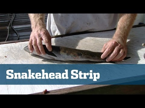 Rigging The Perfect Swordfish Bait With Snakeheads