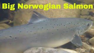 Fishing in Norway With Ian Gordon Speyonline.