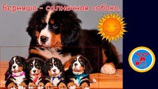 Berner Sennen. Бернский Зенненхунд - солнечная собака.