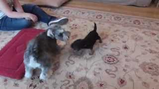 Schnauzer And Border Terrier Pup Play-fighting